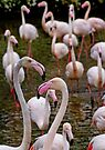 A stand of Greater pink Flamingoes by David Carton