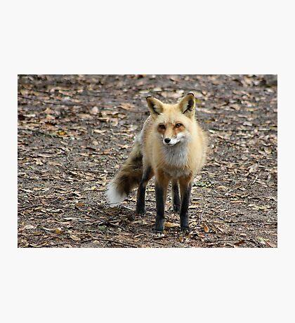 Sly Fox Photographic Print