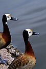 A pair of Whistling Ducks by buttonpresser