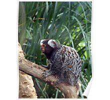 Inquisitive marmoset Poster