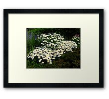 A Patch of Daisies Framed Print