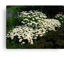 A Patch of Daisies Canvas Print