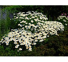 A Patch of Daisies Photographic Print