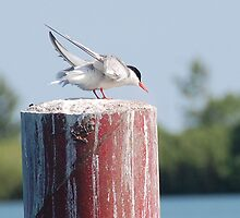 Tern ..ready for take off by Elaine  Manley