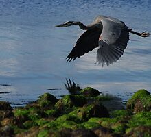 Blue heron upclose by Al Williscroft