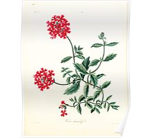 Floral illustrations of the seasons Margarate Lace Roscoe 1829 0290 Verbena Chamadryfolia Poster