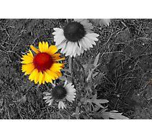 Brown Eyed Susans,selective color Photographic Print