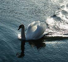 Silver Wake - the Pompous Territorial Swan by Georgia Mizuleva