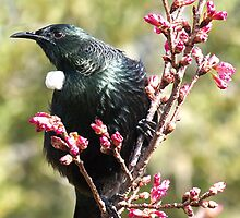 Tui..... I rule the roost .......! by Roy  Massicks
