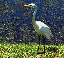 Sunlit egret by ♥⊱ B. Randi Bailey