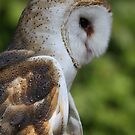 Barn Owl by Featherbrush