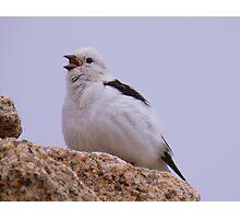 The Cairngorms: Snow Bunting Photographic Print