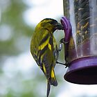 The Cairngorms: Siskin by Rob Parsons