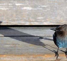Blue Bird & Shadow by tom j deters