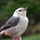Young White Breasted Nut Hatch by SKNickel
