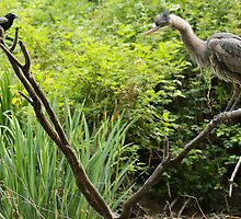 Great Blue Heron & Crow by THurdCreations