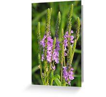 Swamp Vervain- Verbena hastata Greeting Card