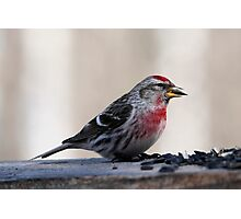 MALE COMMON REDPOLL Photographic Print