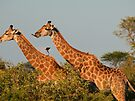 I just want a kiss!! by Explorations Africa Dan MacKenzie