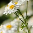 Dancing Daisies by bared