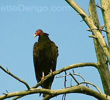 Turkey Vulture by Janette  Dengo