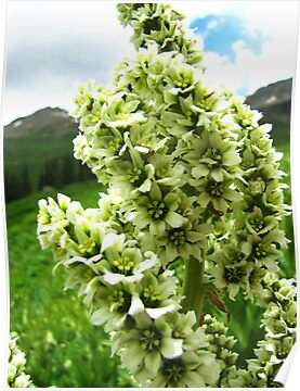 Yankee Boy Basin Wildflowers - Colorado False Hellebore by Bill Hendricks
