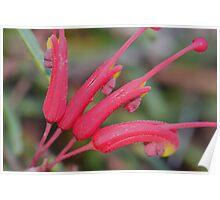 Grevillea nudiflora Poster