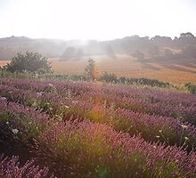 Lavender field, Provence by Christopher Barton