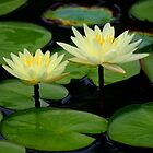 Yellow Waterlilies by Brent McMurry