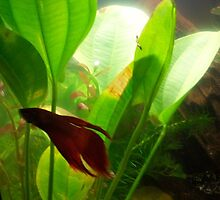 Male Fighting Fish by Pebbler