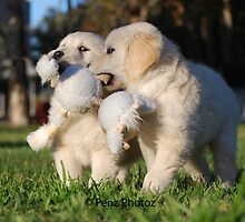 Baby Golden Retrievers at Play by Penny Brooks
