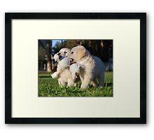 Baby Golden Retrievers at Play Framed Print