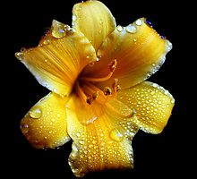 Day Lily by Moonikins