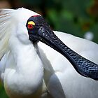 Royal Spoonbill by Stuart Robertson Reynolds