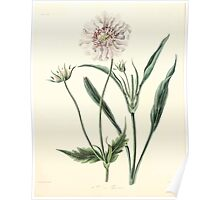 Floral illustrations of the seasons Margarate Lace Roscoe 1829 0148 Teabiosa Caucasea Poster