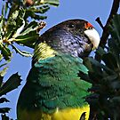 Portrait of a Ringneck by Rick Playle