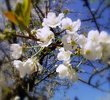 cherry blossoms in the sky by Dawna Morton
