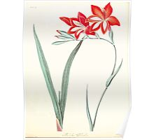 Floral illustrations of the seasons Margarate Lace Roscoe 1829 0332 Gladiolus Cardinatis Poster