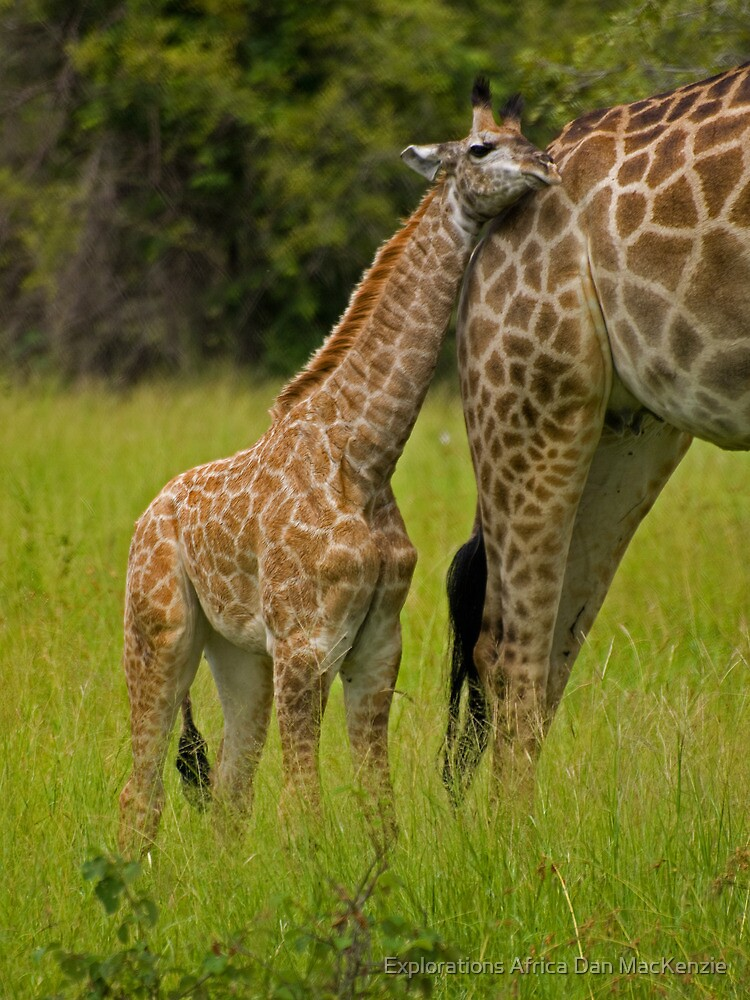 Close to mom. by Explorations Africa Dan MacKenzie