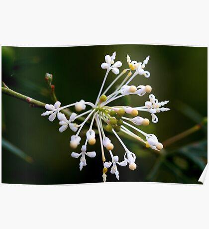 Grevillea phanerophlebia  Poster