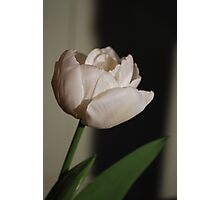 Dreamy Tulip Photographic Print