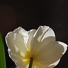 White Tulip by Lozzar Flowers & Art