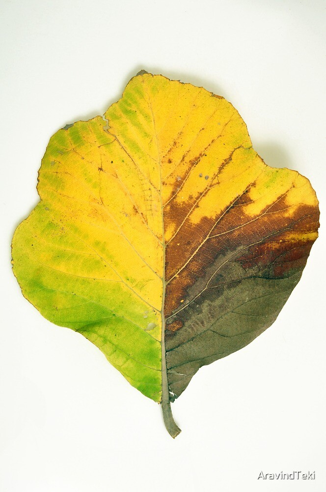 Leaf by AravindTeki
