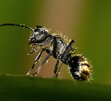 Golden-Tailed Spiny Ant by Jason Asher