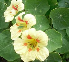 Yellow Nasturtium by Kyleacharisse