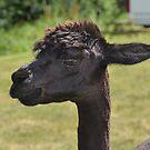 Dark Alpaca......... Dorset UK by lynn carter