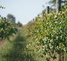 Waiting for the grapes to grow by 2HPhotography