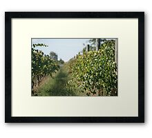 Waiting for the grapes to grow Framed Print