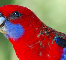 Parrot by voir