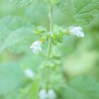 Balm - Melissa officinalis by aMOONy